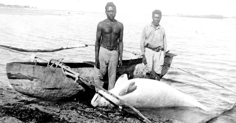 Dugong caught using traditional methods circa 1920 (Photo credit: UQ Anthropology Museum, University of Queensland)