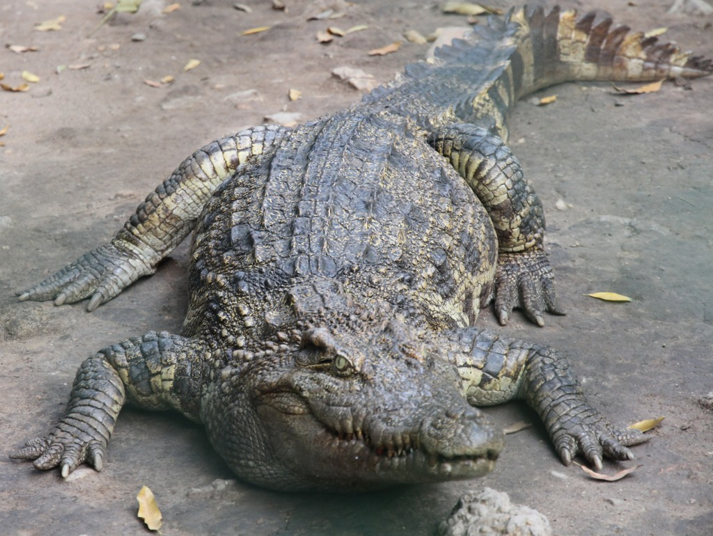 medium-animal_crocodile-5626